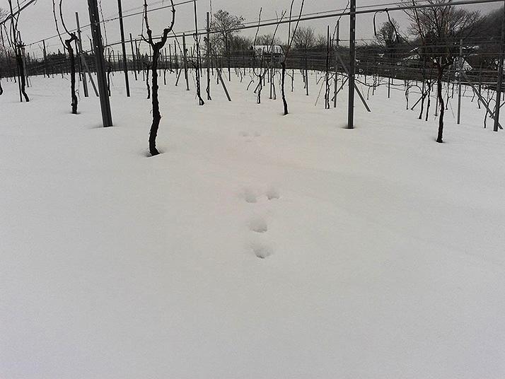 積雪での農作業
