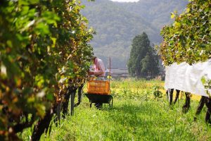 vineyard (107)